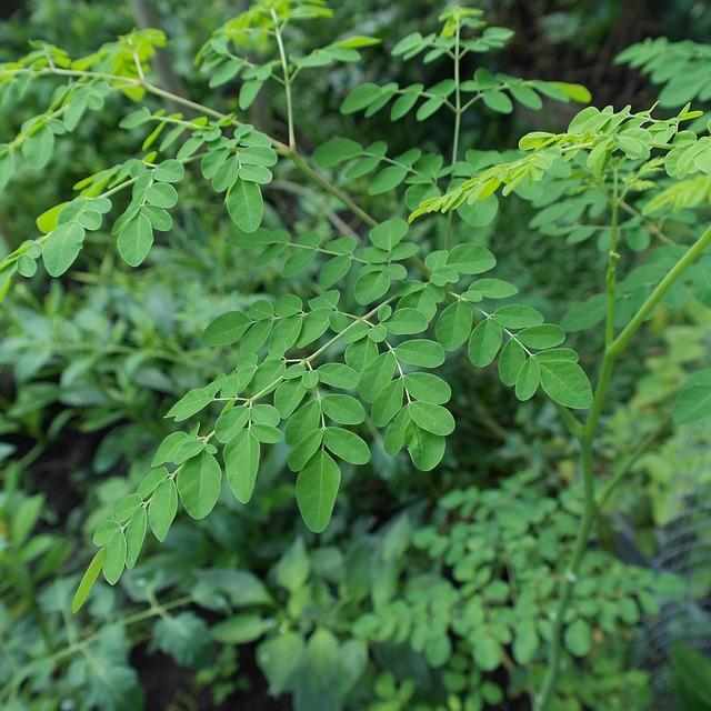 des feuilles de moringa