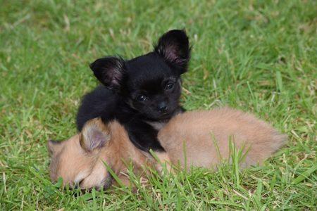 petits chiens dans l'herbe