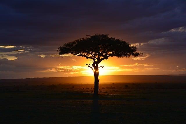 arbre d'afrique